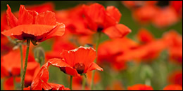 Remembrance Sunday Powerpoint of Poppies