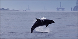 Dolphin swimming in front of oil rigs